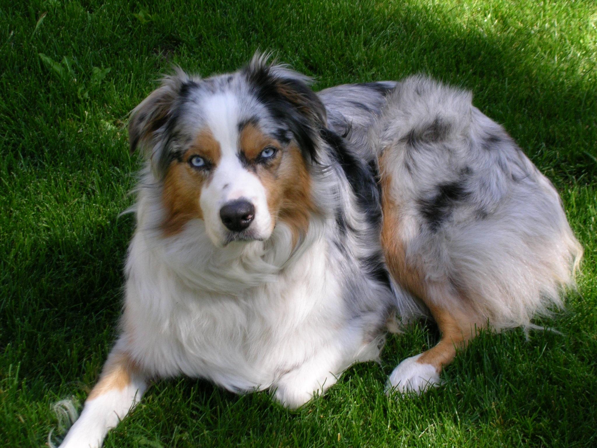 World's Fluffiest Dog