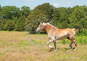 belgian-draft-horse-trotting-23501877