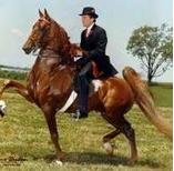 5-Gaited horse